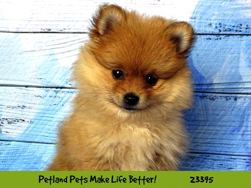 Pomeranian-Female-Sable-2743600-Petland Naperville