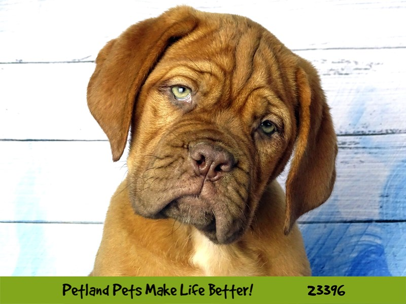 Dogue De Bordeaux-Male-Fawn-2743595-Petland Naperville