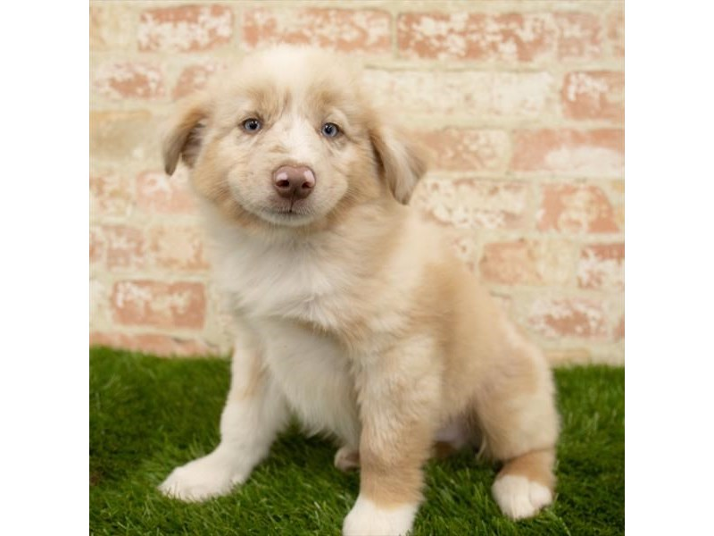 Miniature Australian Shepherd-DOG-Male-Red Merle-2745286-Petland Naperville