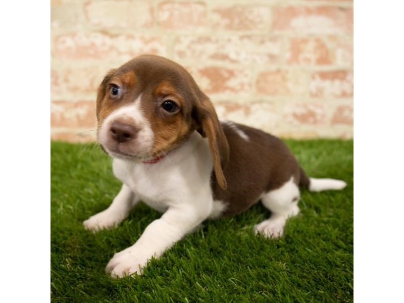 Beagle-DOG-Male-Chocolate White Tan-2745288-Petland Naperville