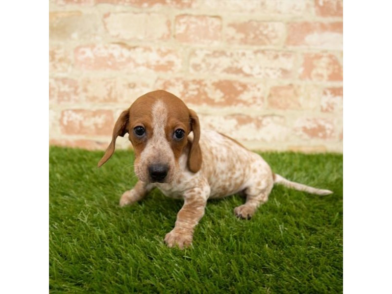Dachshund-Female-Red-2745290-Petland Naperville