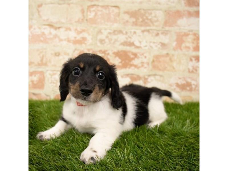 Dachshund-DOG-Male-Black / Tan-2745301-Petland Aurora