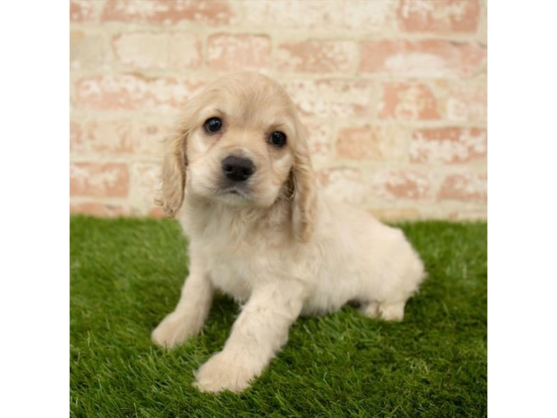 Cocker Spaniel-Female-Buff-2745303-Petland Naperville