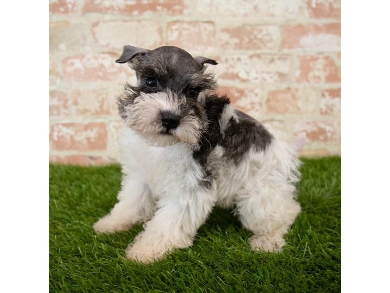 Miniature Schnauzer-DOG-Female-Salt / Pepper-2745306-Petland Naperville