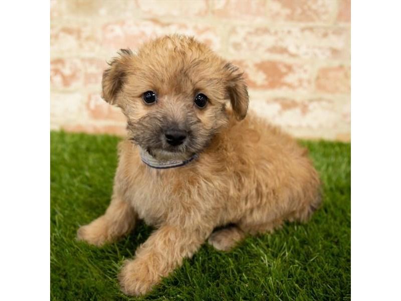 Yorkiepoo-DOG-Female-Golden-2745341-Petland Aurora