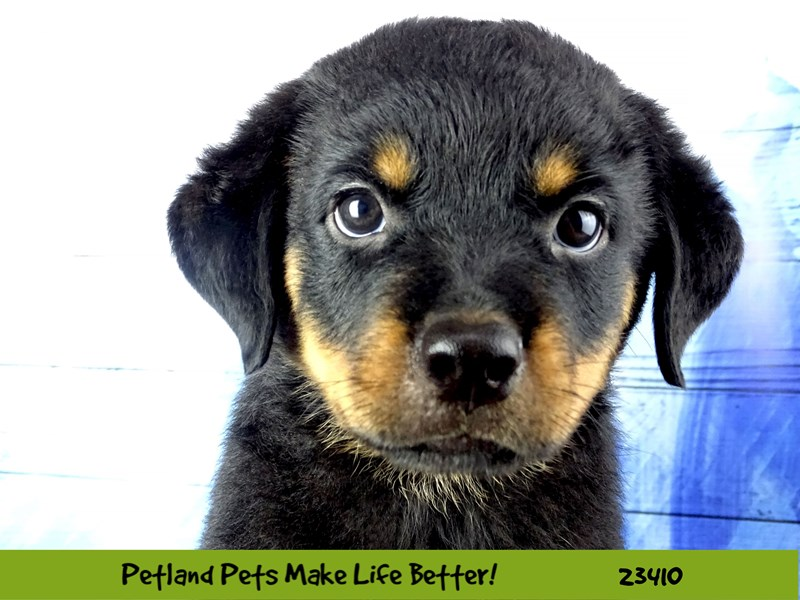 Rottweiler-Male-Black and Tan-2750658-Petland Naperville