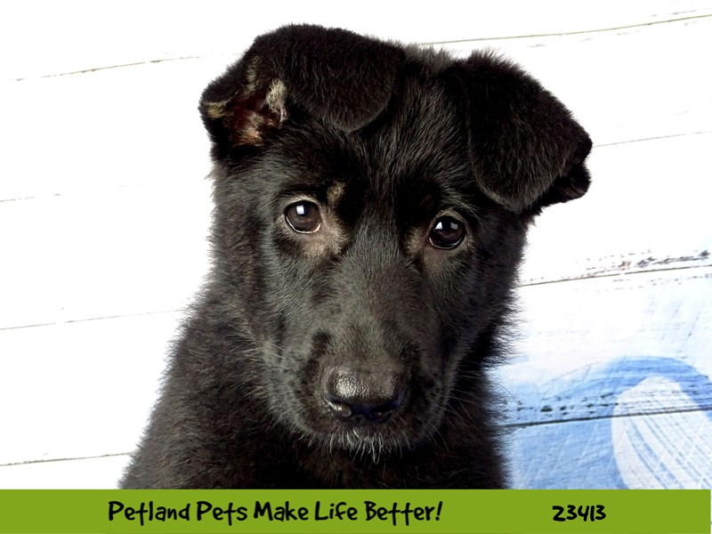 German Shepherd-Female-Black-2750913-Petland Naperville