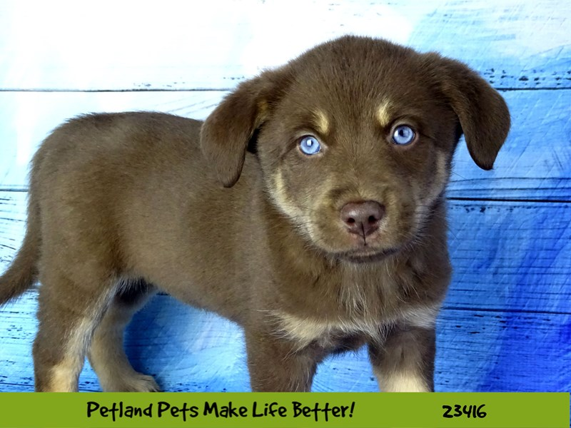 Lab Mix-DOG-Female-Chocolate-2751043-Petland Naperville
