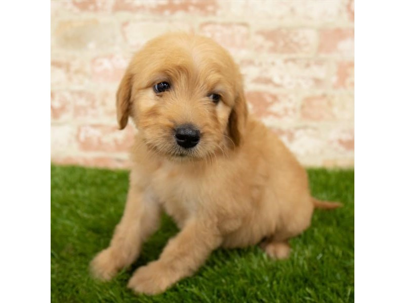 Goldendoodle-Female-Golden-2752211-Petland Naperville