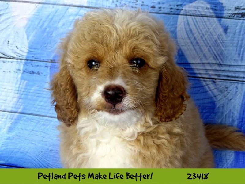 Goldendoodle Mini-DOG-Female-Golden-2752249-Petland Naperville