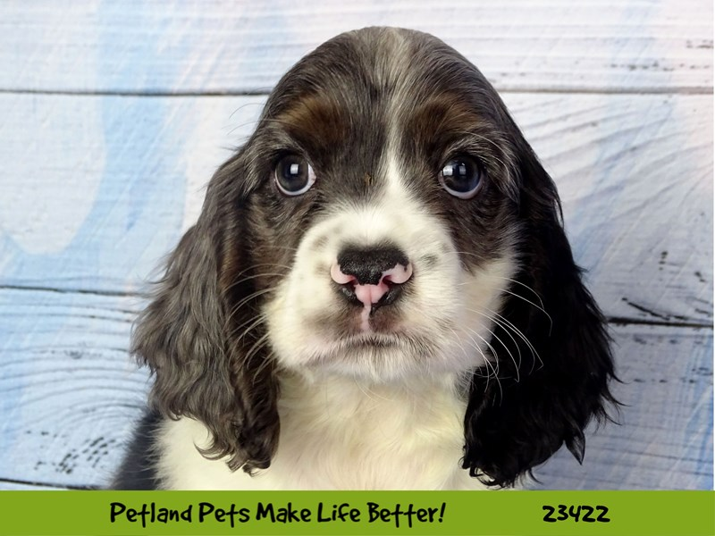 Cocker Spaniel-DOG-Male-Black White / Tan-2752253-Petland Aurora