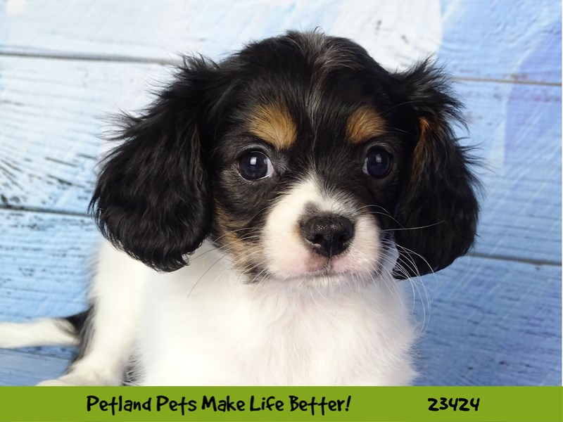 Chihuahua/Cavalier King Charles Spaniel-DOG-Male--2752257-Petland Naperville