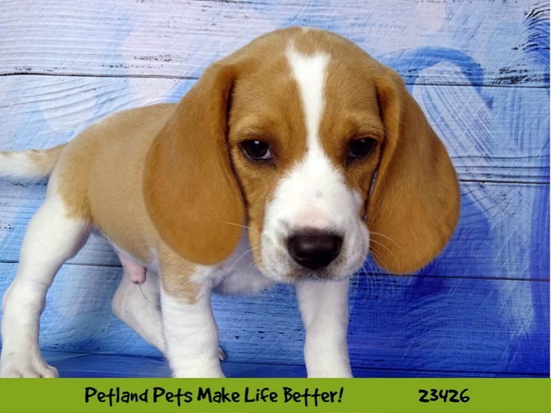 Beagle-Male-Black White / Tan-2752221-Petland Naperville