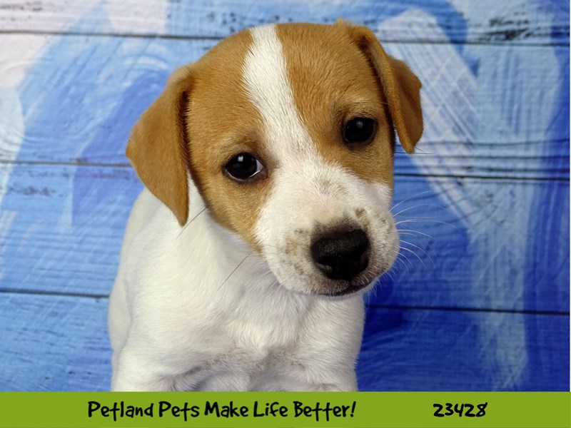 Jack Russell Terrier-Female-White-2752224-Petland Naperville