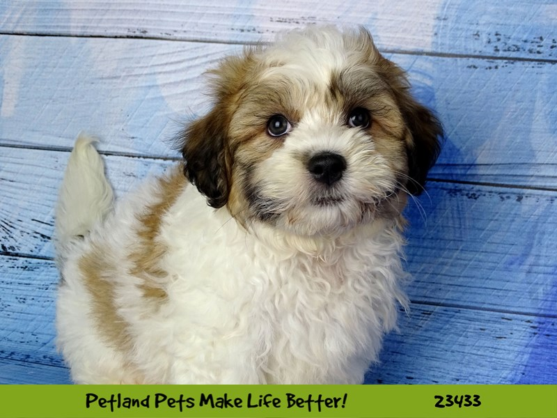 Teddy Bear-Male-Gold / White-2752219-Petland Naperville