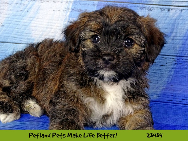 Teddy Bear-Female-Brindle-2752242-Petland Naperville