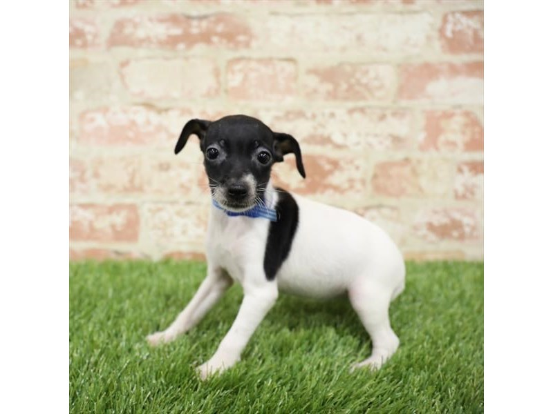 Toy Fox Terrier-DOG-Female-Tri-Colored-2717266-Petland Naperville