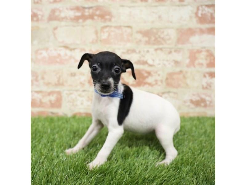 Toy Fox Terrier-Female-Tri-Colored-2717266-Petland Naperville