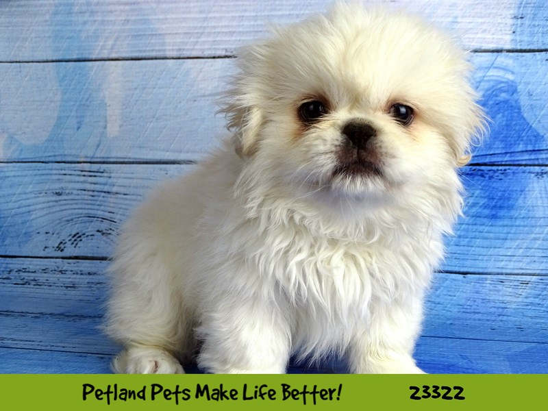 Pekingese-DOG-Male-Lemon-2721950-Petland Naperville