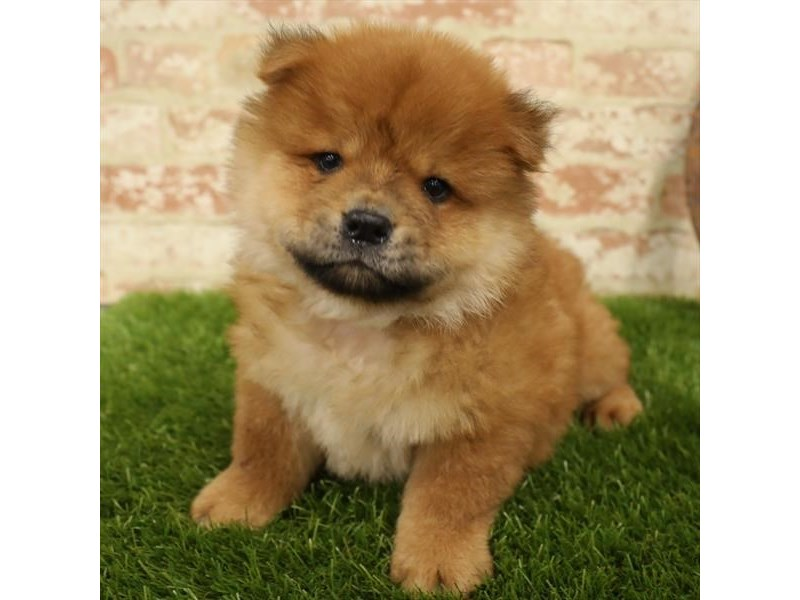 Chow Chow-Male-Red-2730911-Petland Naperville