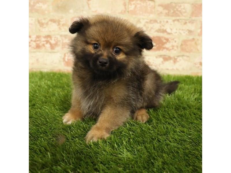 Pomeranian-DOG-Female-Wolf Sable-2737776-Petland Aurora