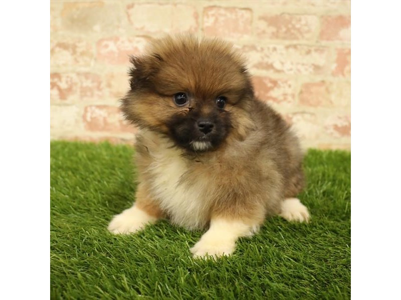 Pomeranian-Male-Orange Sable-2737777-Petland Naperville