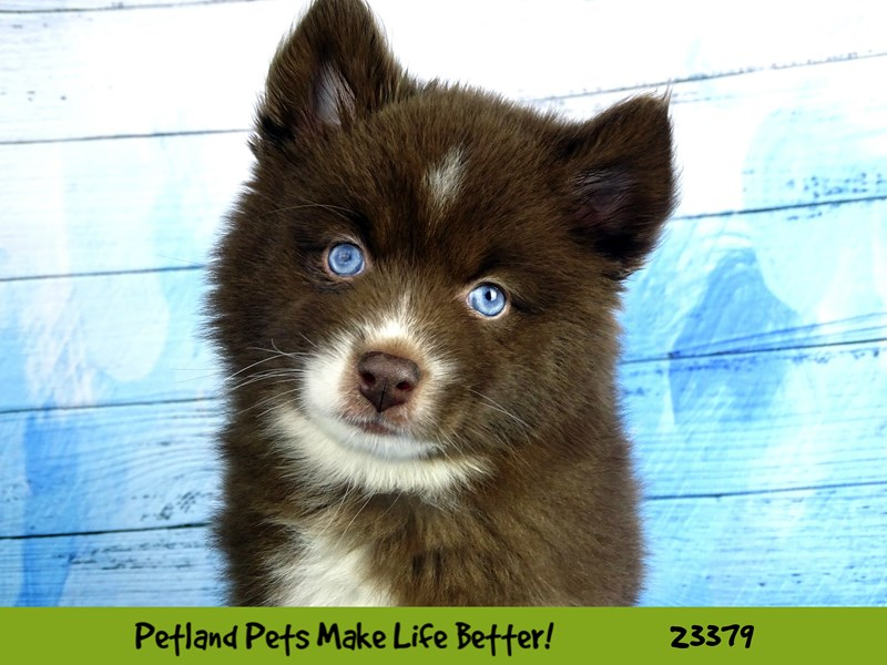 Pomsky 2nd Gen-Female-Red / White-2737759-Petland Aurora
