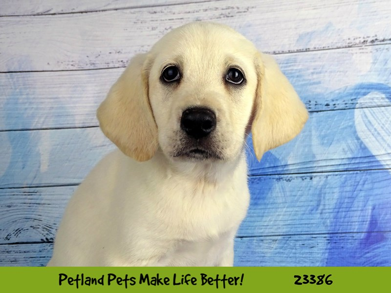 Labrador Retriever-Female-Yellow-2737800-Petland Naperville