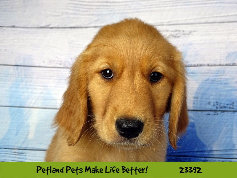 Golden Retriever-Female-Golden-2743596-Petland Naperville