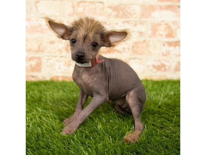Chinese Crested-DOG-Female-Black-2745291-Petland Naperville