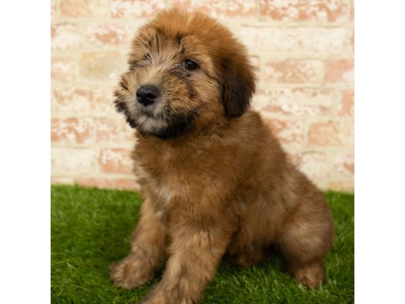 Soft Coated Wheaten Terrier-DOG-Male-Wheaten-2745298-Petland Naperville