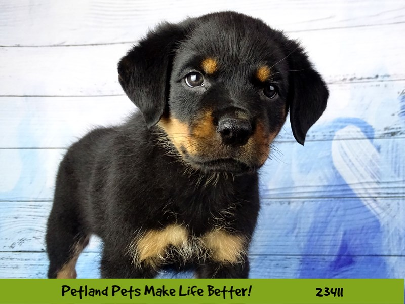 Rottweiler-Female-Black and Tan-2750659-Petland Naperville