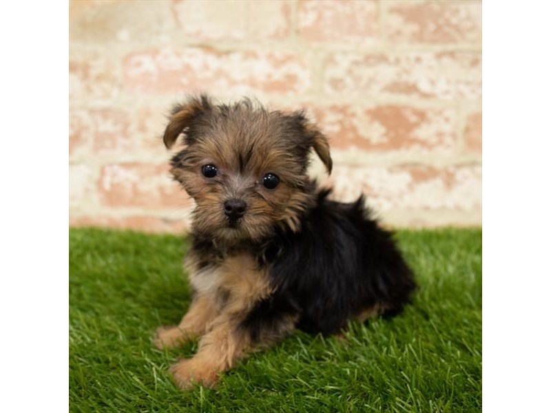 Yorkshire Terrier-DOG-Female-Black / Tan-2752216-Petland Naperville