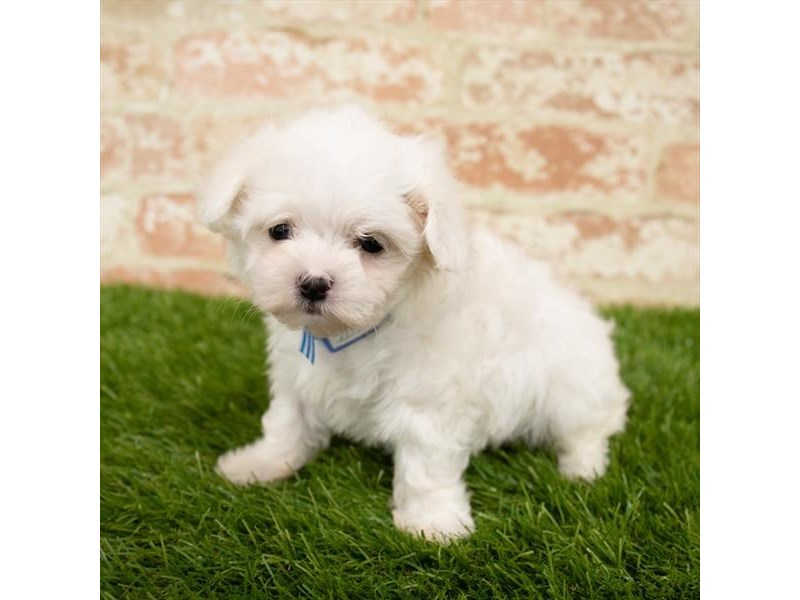 Maltese-Female-White-2752245-Petland Naperville