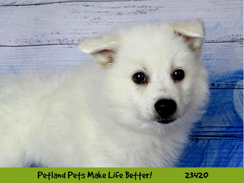 American Eskimo Dog-Female-White-2752207-Petland Naperville