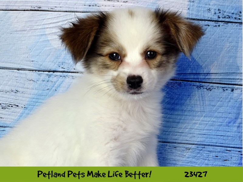 Papillon-Female-Sable / White-2752214-Petland Naperville