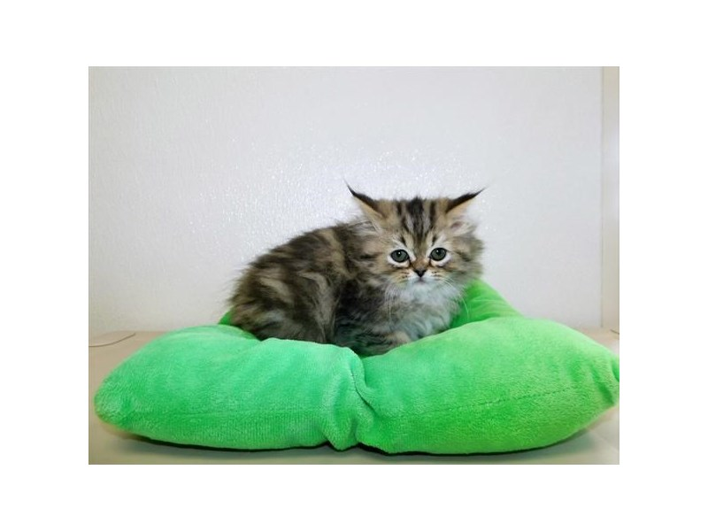 Persian-Male-Brown Tabby-2758457-Petland Naperville