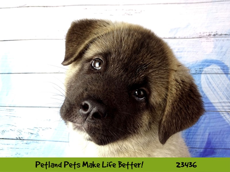 Akita-Male-Grey Sable-2758020-Petland Naperville