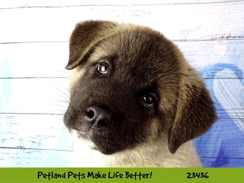 Akita-DOG-Male-Grey Sable-2758020-Petland Aurora