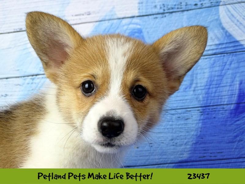 Pembroke Welsh Corgi-DOG-Female-Red and White-2758053-Petland Aurora