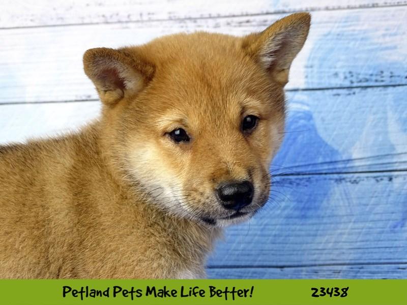 Shiba Inu-DOG-Male-Red-2758096-Petland Aurora