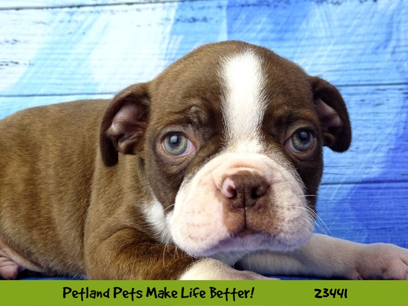Boston Terrier-DOG-Male-Red / White-2758332-Petland Aurora