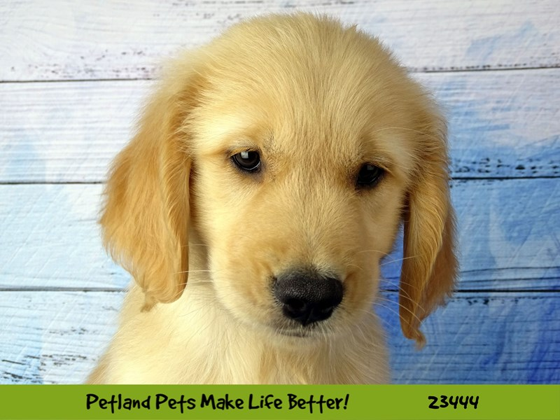Golden Retriever-Male--2758337-Petland Naperville