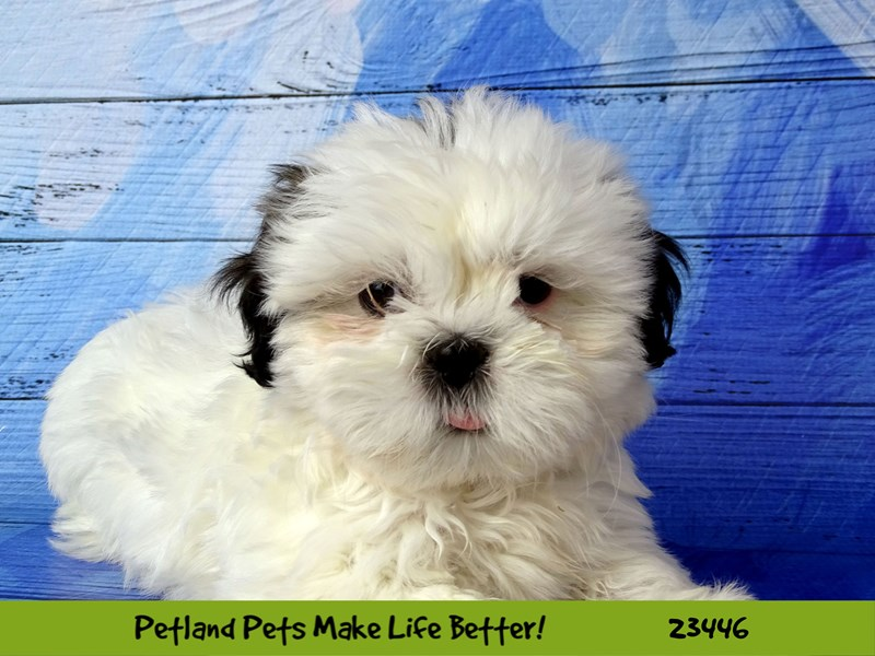 Shih Tzu-Female-White / Black-2758430-Petland Naperville