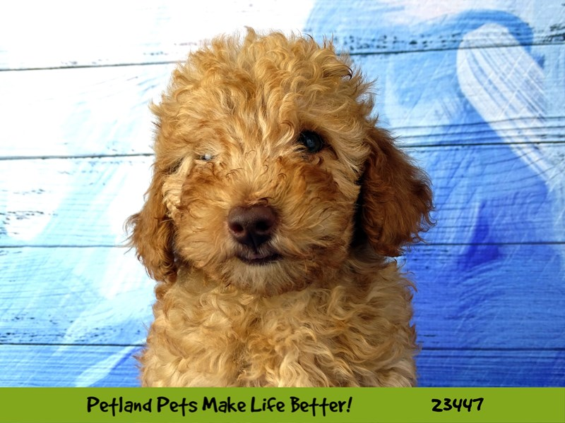 Poodle-Female-Red-2758433-Petland Naperville