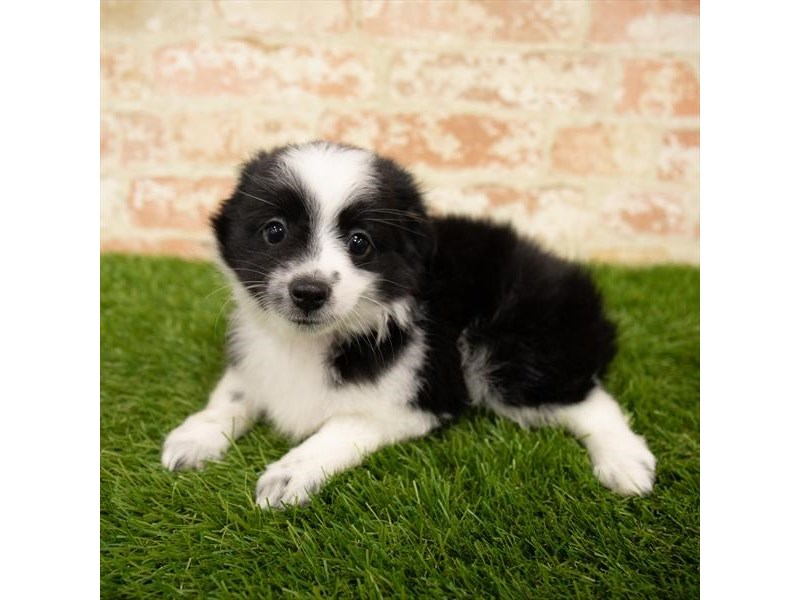 Toy Australian Shepherd-Female-Black / White-2760360-Petland Naperville