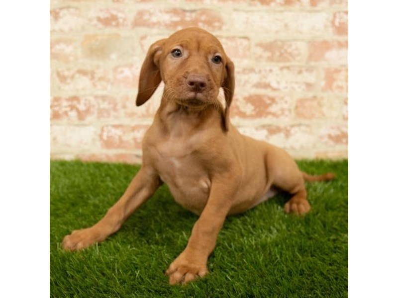 Vizsla-DOG-Female-Red-2760363-Petland Aurora