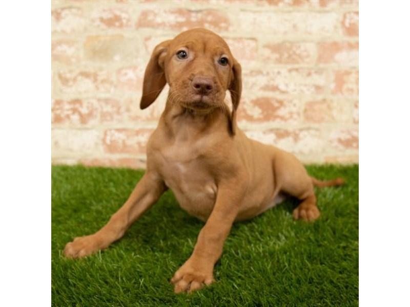 Vizsla-DOG-Female-Red-2760363-Petland Naperville