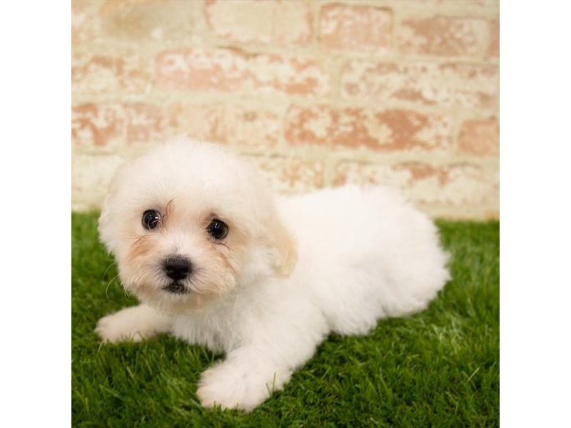 Teddy Bear-Male-White-2760368-Petland Naperville