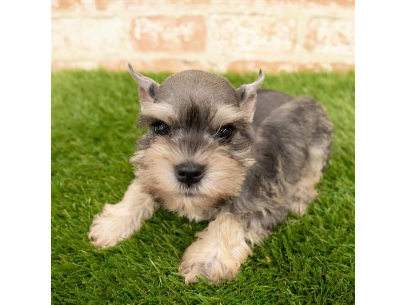 Miniature Schnauzer-Male-Salt / Pepper-2760390-Petland Naperville